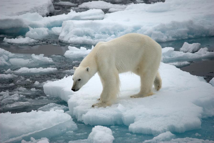 Гренландия OX/OZ1LXJ Туристические достопримечательности Белый медведь