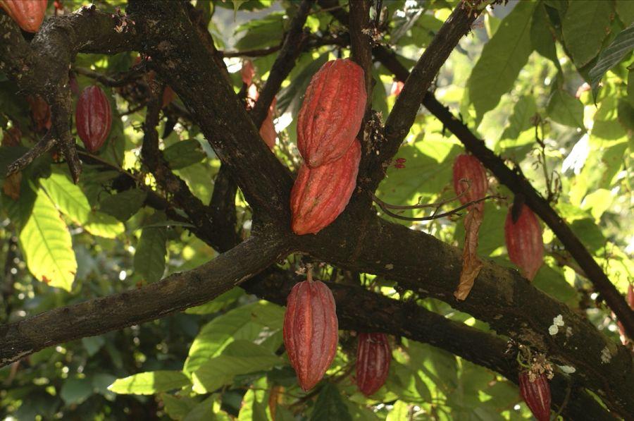 Grenada Island J3/KO8SCA DX News Cocoa pods.