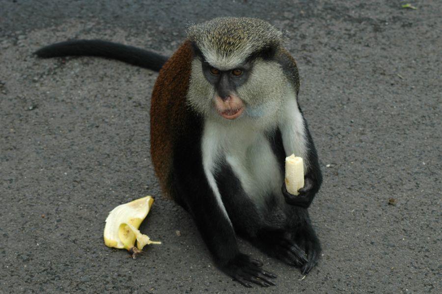 J3/KO8SCA Grenada Island Grenada monkey.