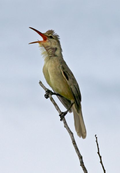 Guam Island AB2ST/KH2 KG6WTW/KH2 KB3LTB/KH2 AG6SL/KH2 Tourist attractions spot  Nightingale Reed-warbler.