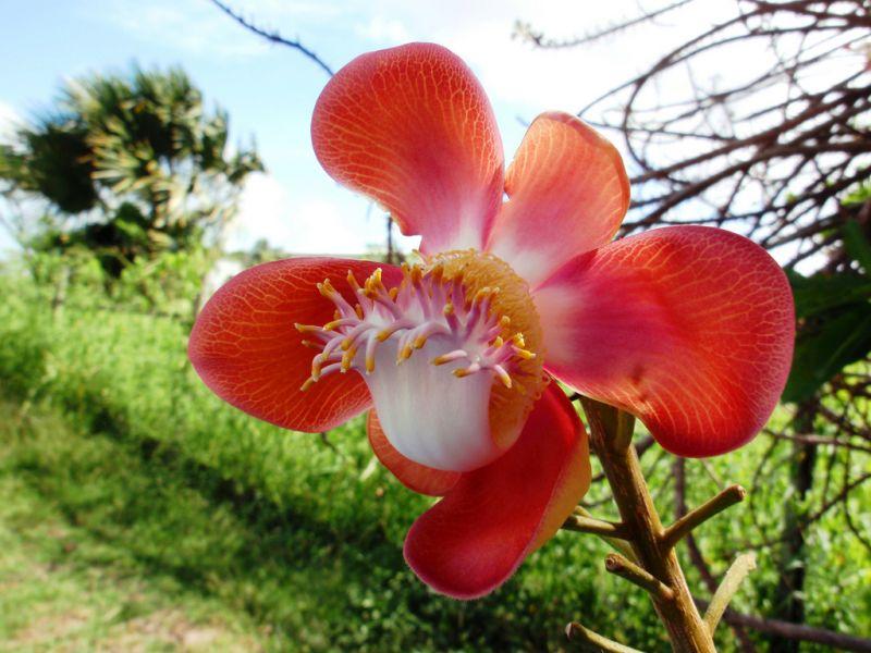 Guyana 8R1/K9KX DX News Cannonball Tree Flower.