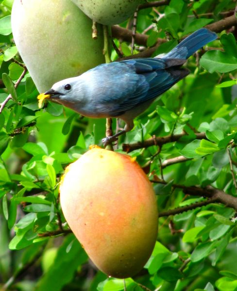 Guyana 8R1/K9KX Tourist attractions spot Blue-grey Tanager.