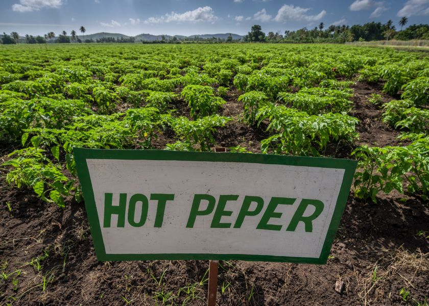 Haiti HH2/WS6X DX News Hot pepper plantation