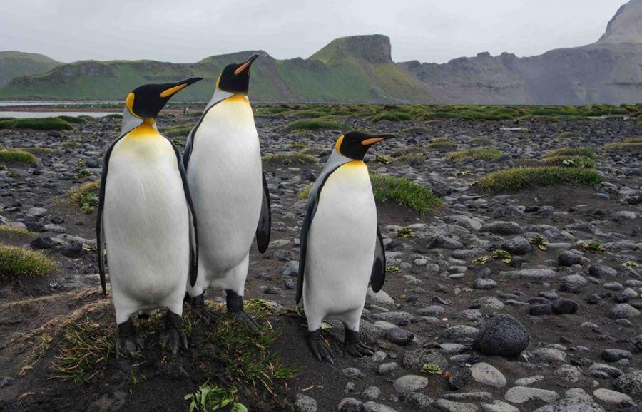 Hear Island Penguins