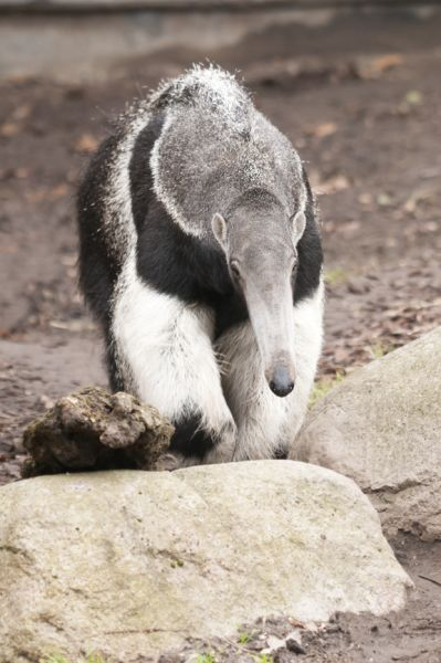 Honduras HR9/K6TOP Giant Anteater