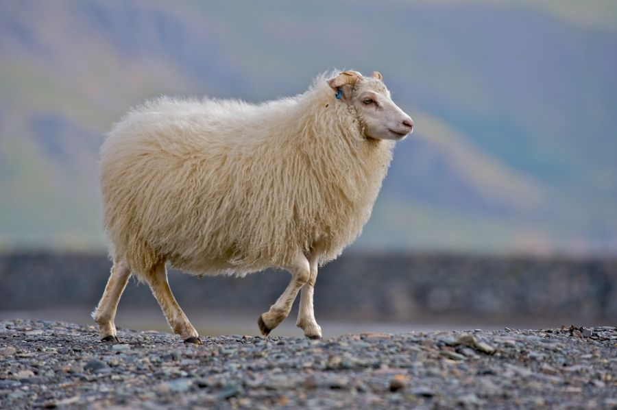 Iceland TF/DF8AN Tourist attractions spot Icelandic sheep in the wilds of Austurland.