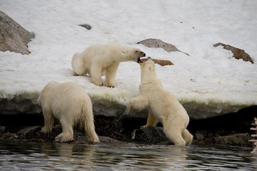 Iceland TF/KO8SCA Polar Bears