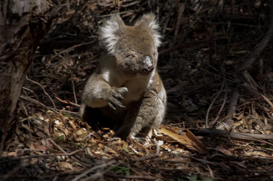 Kangaroo Island VK5GR/P Koala