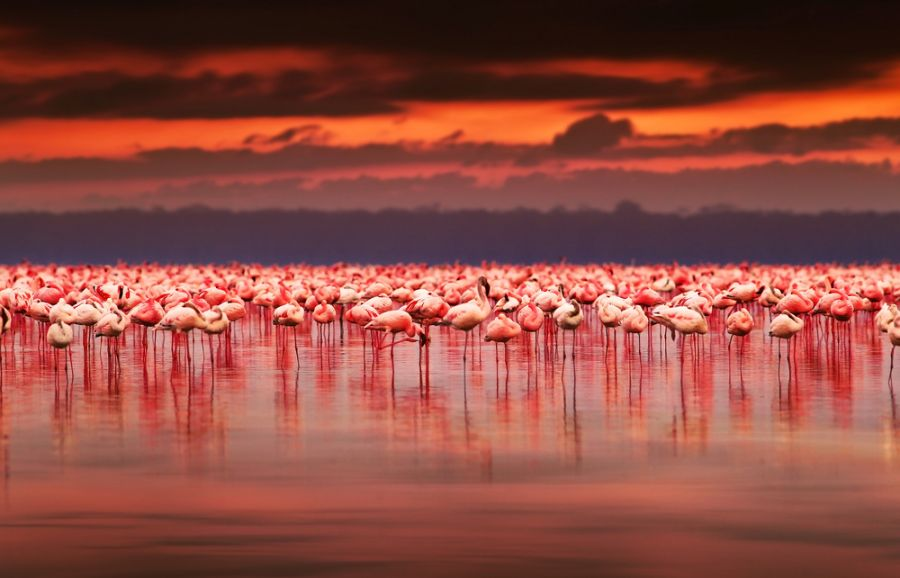 Kenya 5Z4/M0LEP African flamingos in the lake over beautiful sunset Lake Nakuru.