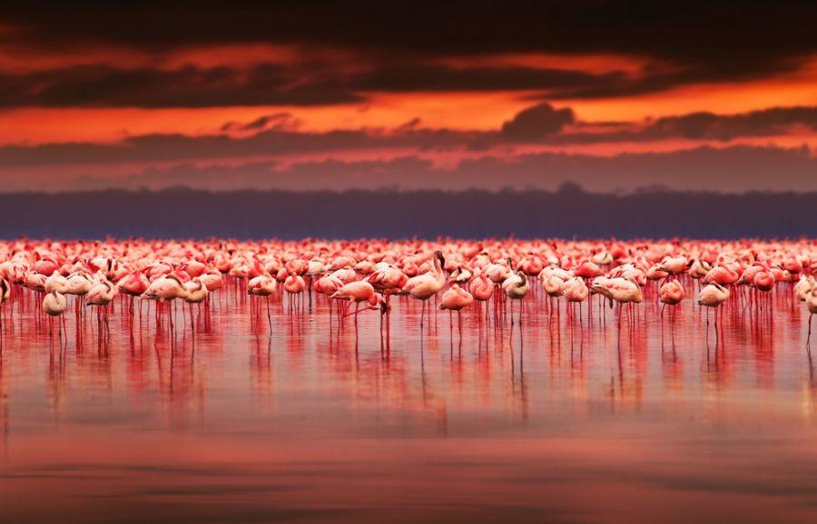 Kenya 5Z4/M0LEP African flamingos in the lake over beautiful sunset Lake Nakuru.