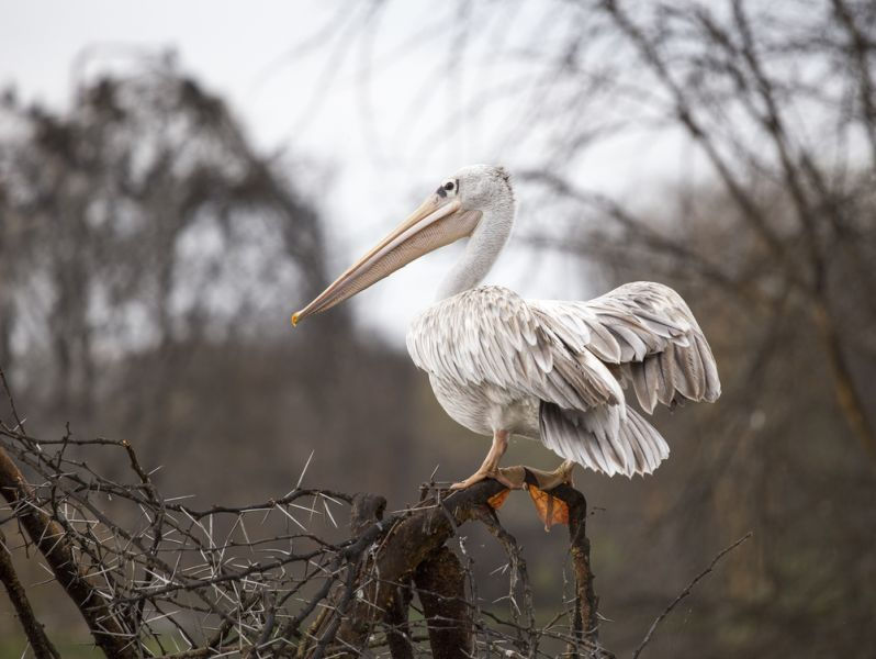 Kenya 5Z4HW DX News White Pelican standing on the tree branch at Naivasha lake