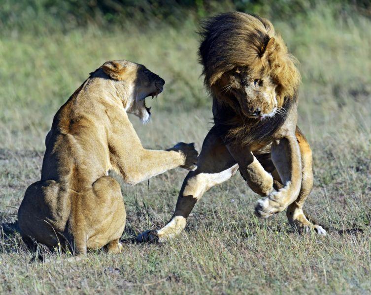 Кения 5Z4HW Туристические достопримечательности Львы в дикой природе