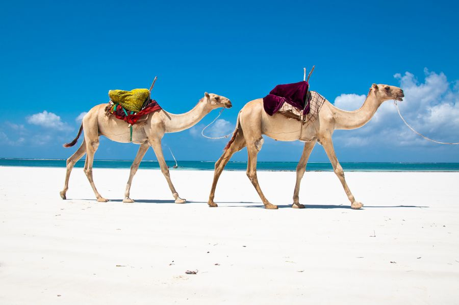 Kenya 5Z4/JM1CAX DX News Camels at Diani Beach.