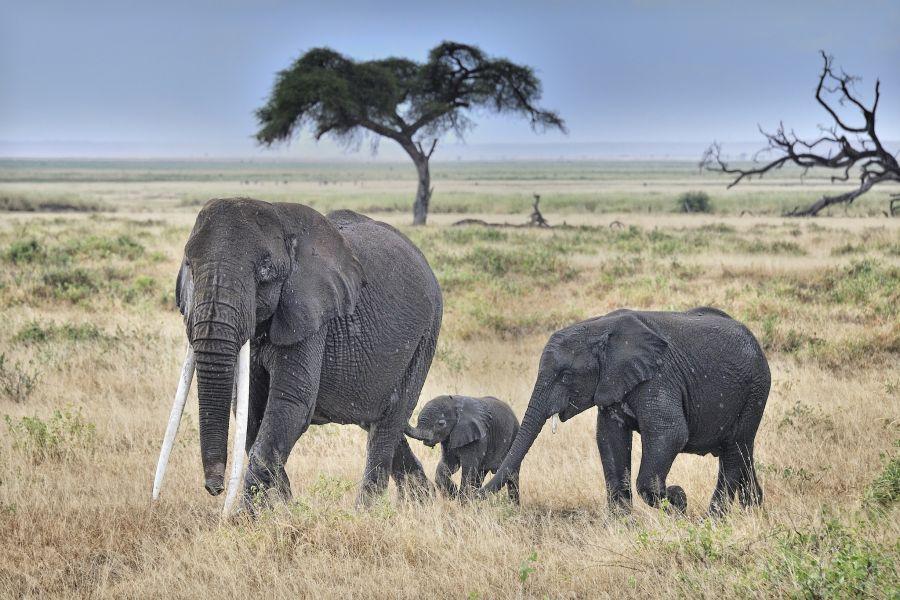 Кения 5Z4/JM1CAX Туристические достопримечательности Слоны в национальном парке Амбосели.