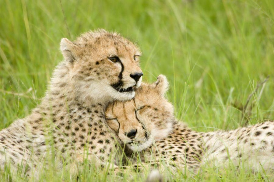 Kenya 5Z4/TA1HZ Tourist attractions spot Cheetah cubs huddled up.