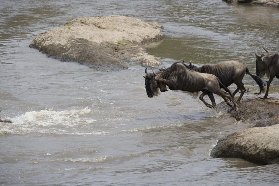 Kenya 5Z4/WF3U DX News Wildebeest herd crossing the Mara river.