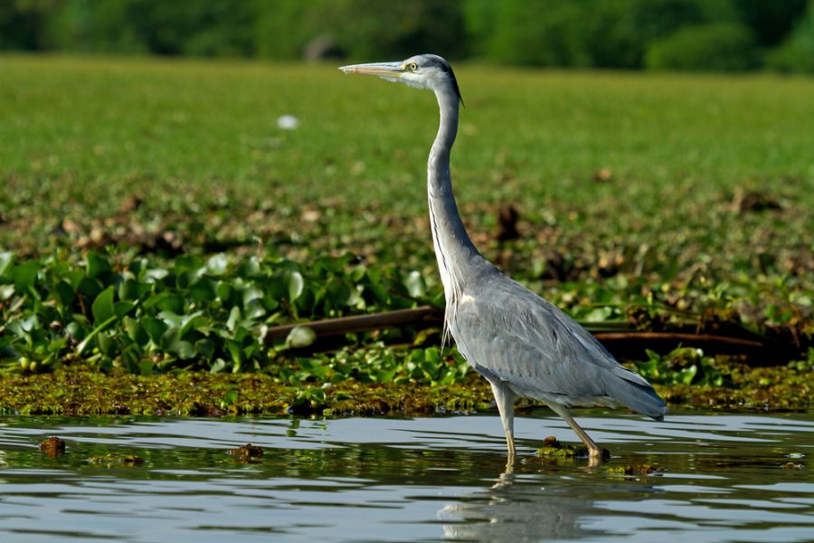 Kenya 5Z4/WF3U Tourist attractions spot Grey African heron bird in the water.
