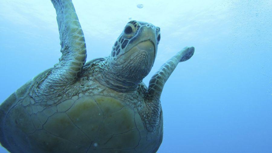 Koror Island T88GA Green Turtle.