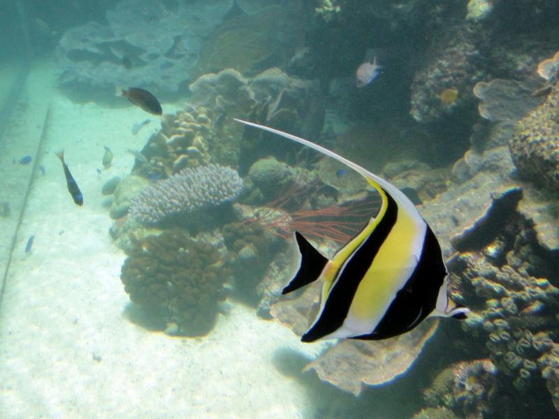 Koror Island Palau T8TH DX News Pennant coralfish.