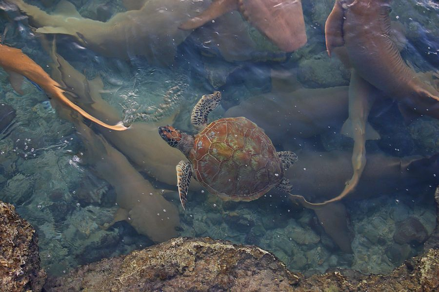 Kwajalein Atoll Marshall Islands V73/WW6RG Tourist attractions spot Sea Turtle and Nurse Sharks.
