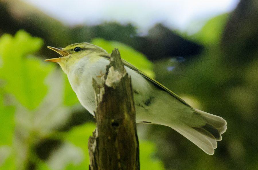 Little Saltee Island EJ1Y EJ0PL DX News Wood Warbler.