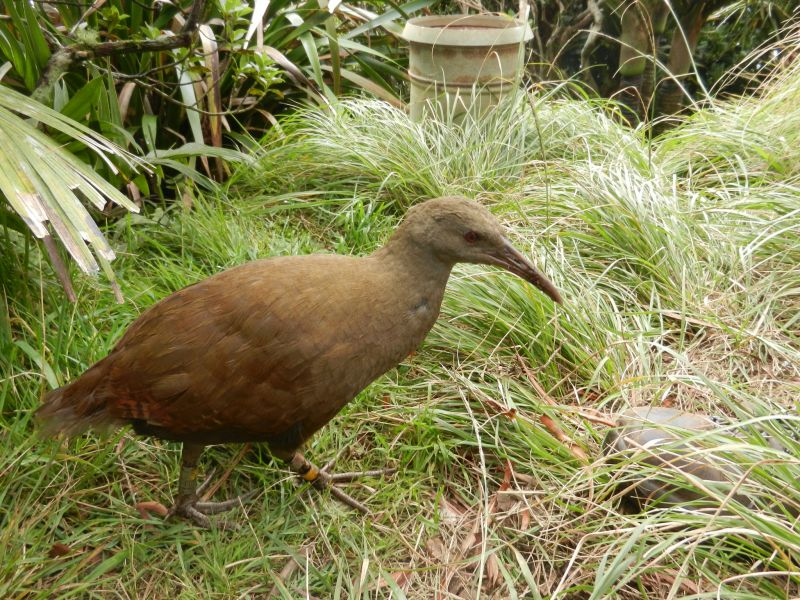 Lord Howe Island VK9L/G7VJR Tourist attractions spot Woodhen on Mt Gower.