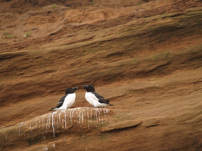 Magdalen Islands XM2IOTA Razor bills.