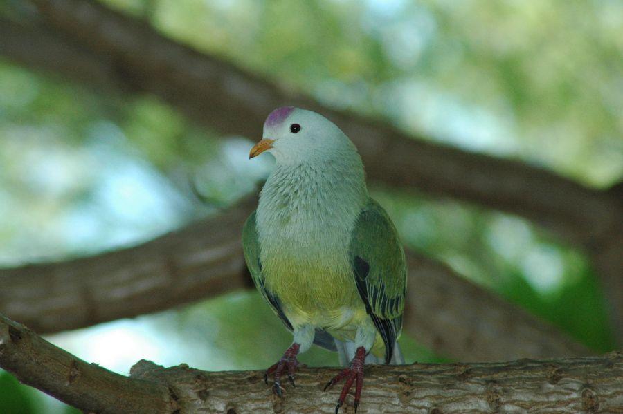 Mangareva Island Gambier Island TX2AH DX News Fruit dove.