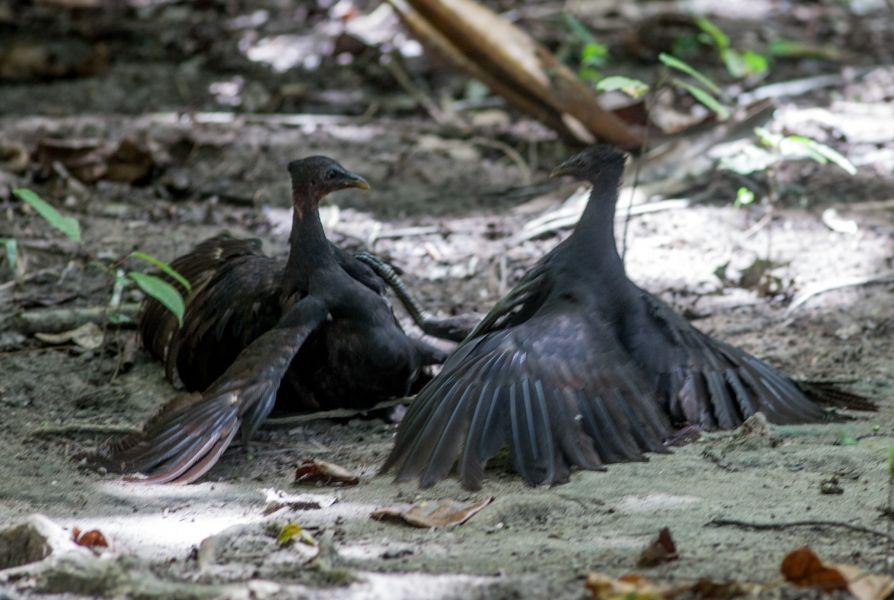 Остров Мансуар Раджа Ампат Западное Папуа YD4IRS/9 Туристические достопримечательности Поединок джунглевых куриц Biak Scrubfowl.