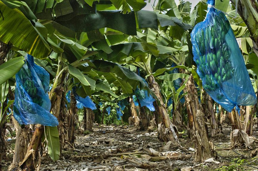 Остров Мартиника TO90IARU Туристические достопримечательности Банановая плантация