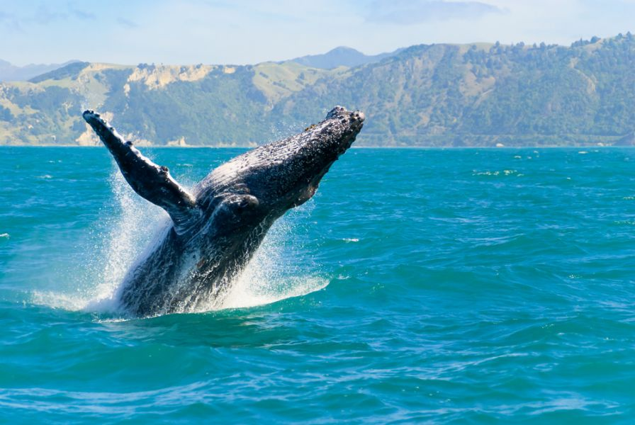 Maui Island KH6/G4BUO Massive humpback whale playing in water.