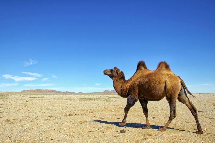 Mongolia JT5FW DX News Camel, Gobi Desert.