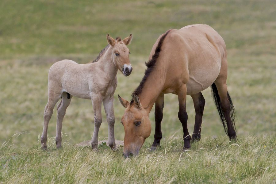 Mongolia JT5FW The Takhi, also known as Przewalski's Horse, Khustain Nuruu National Park.