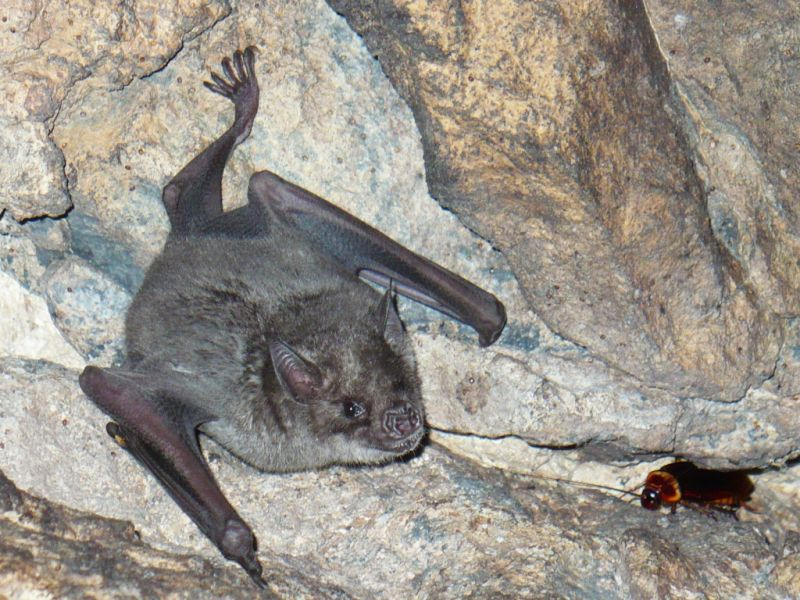 Montserrat Island VP2MAC VP2MXT VP2MLJ Tourist attractions Lesser Antillean Fruit Bat - Brachyphylla cavernarum