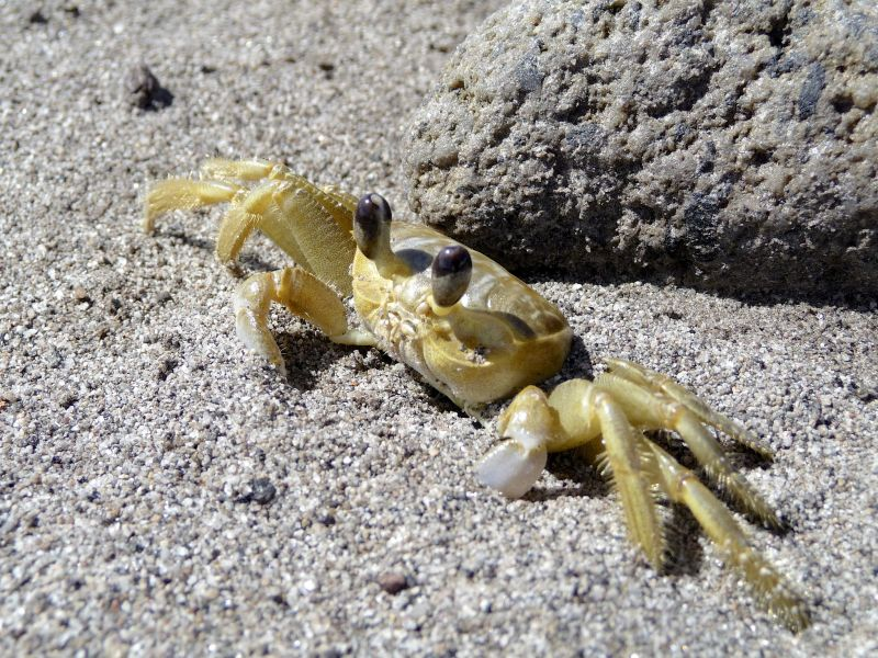Остров Монтсеррат VP2MMF Желтый краб.