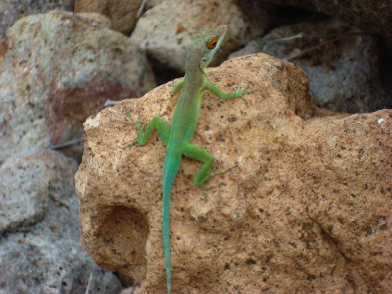 Montserrat Island VP2MXP VP2MEW VP2MRL DX News Montserrat lizard
