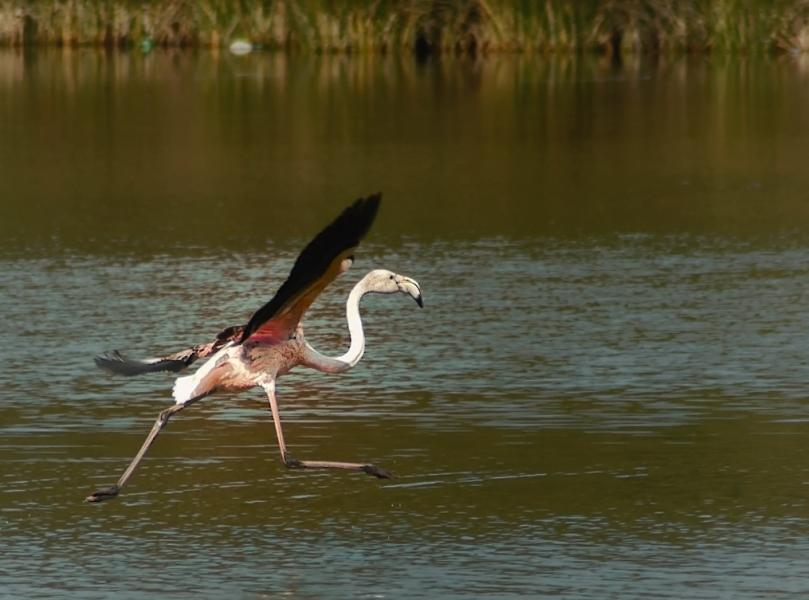 Morocco 5E3A Flamingo Dance.