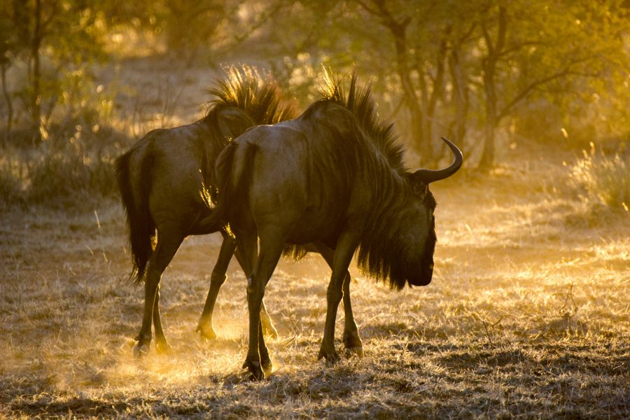 Namibia V55DX DX News Wildebeest