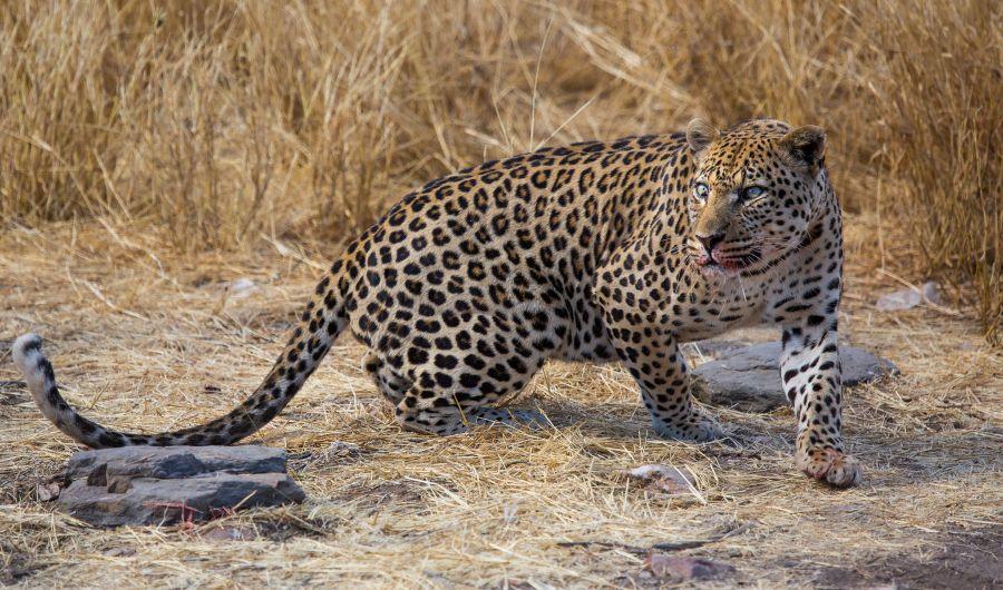 Namibia V55DX Leopard