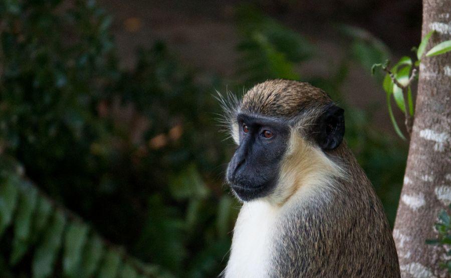 Nevis Island V47JR Tourist attractions spot Green Vervet Monkey.