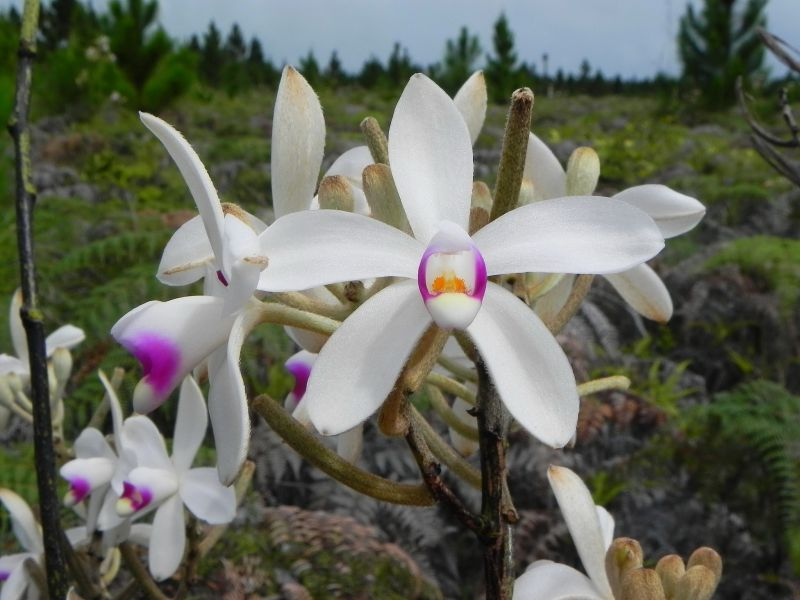 Новая Каледония FK/F9IE Орхидея Эриаксис ригида.