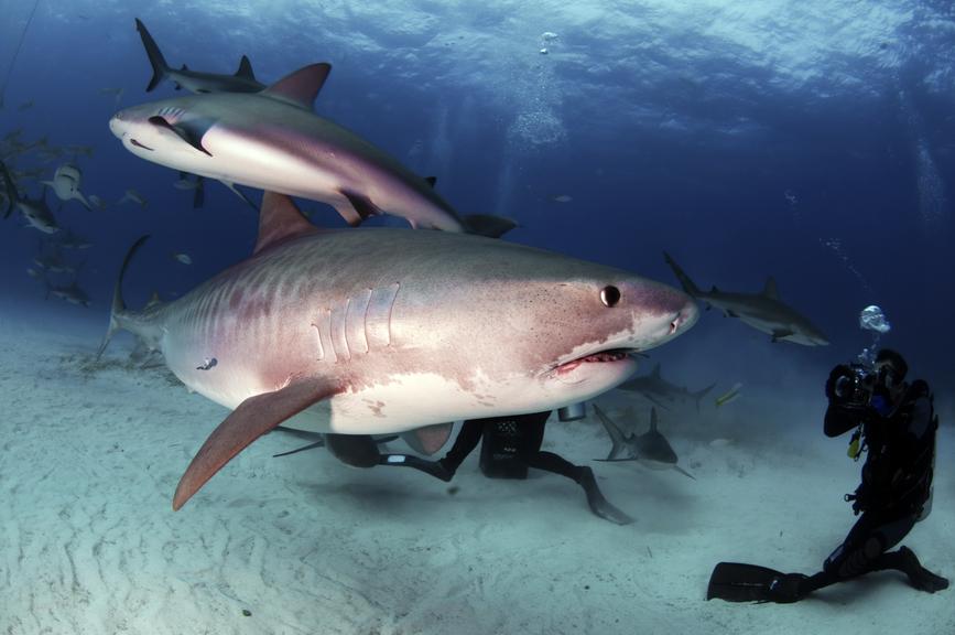 New Providence Island Bahamas C6AYS Tiger shark