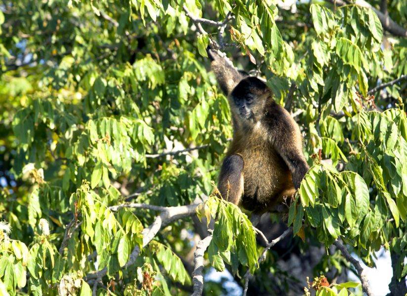 Nicaragua YN2CC Tourist attractions Spider monkey