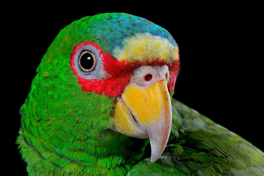 Nicaragua YN3/TG9IIN Tourist attractions spot Amazona albifrons, Nandaime, Granada.
