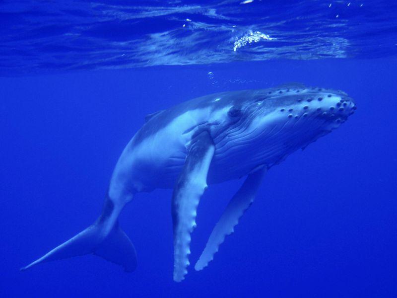 Niue Island E6AC DX News Baby whale.