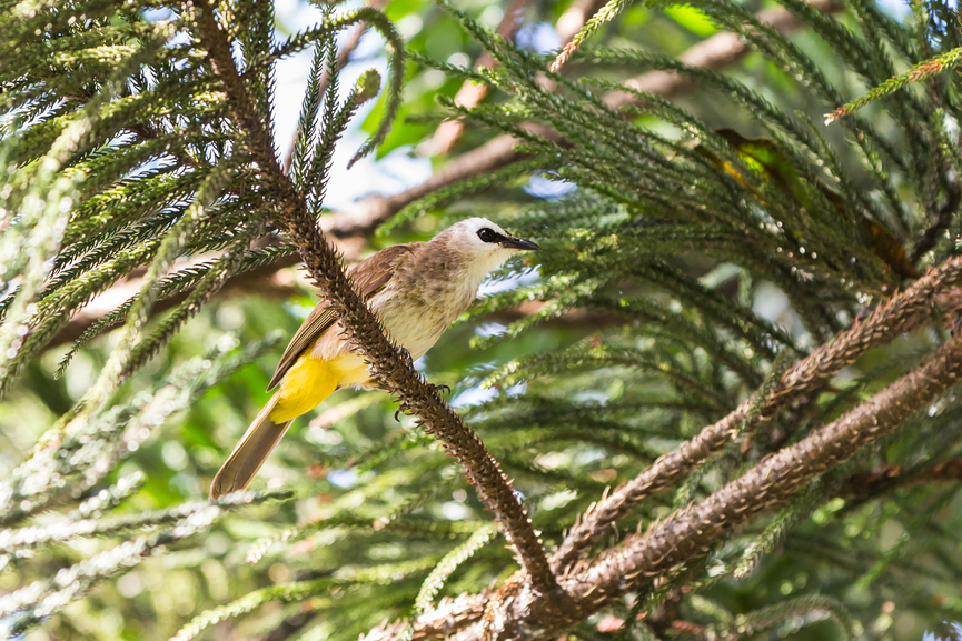 Norfolk Island VK9NT Tourist attractions Yellow-vented Bulbul bird