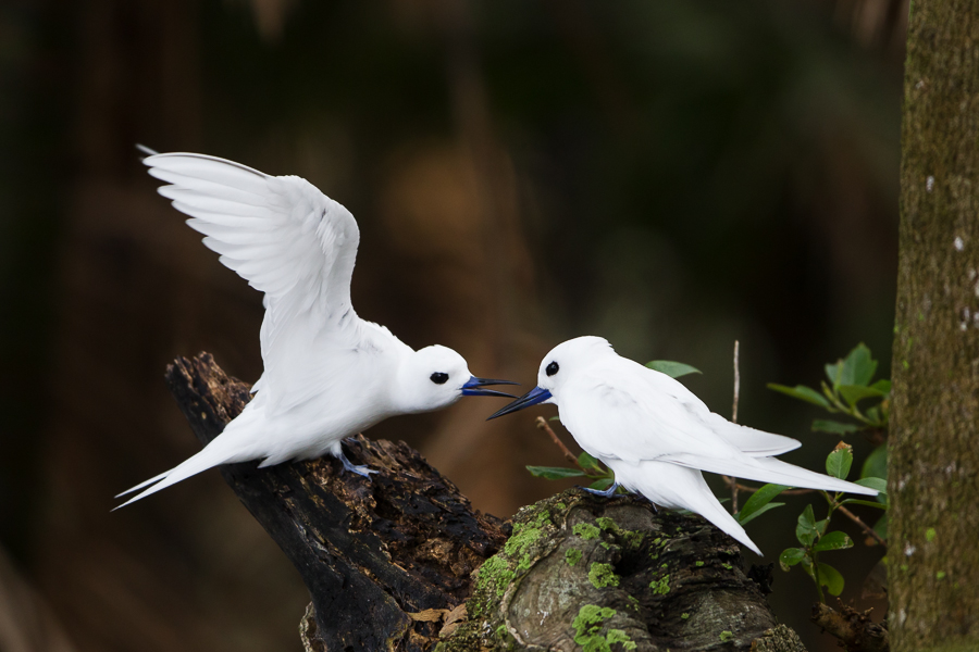 Norfolk Island VK9XIC Tourist attractions spot White Terns.
