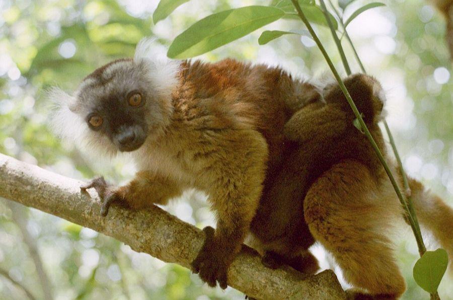 Остров Нуси Бе Мадагаскар 5R8M Лемур