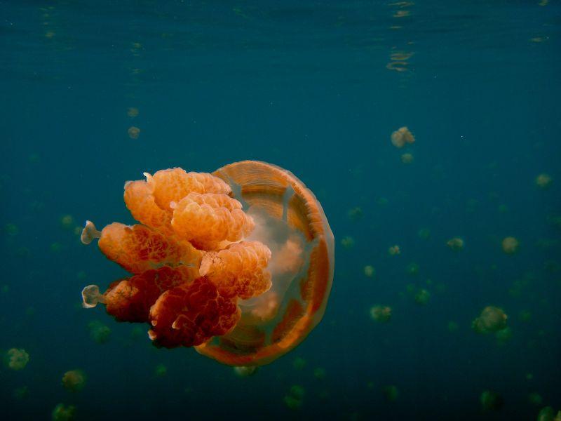 Палау T88XH Туристические достопримечательности Озеро медуз.