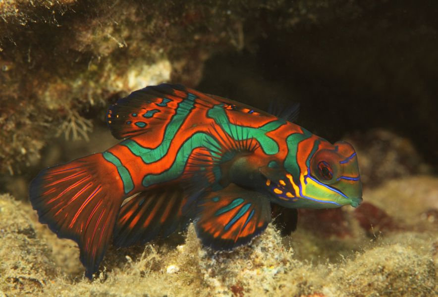 Koror Island Palau T8AM DX News Mandarin fish.